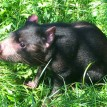 Coolah the Tasmanian devil helped the Fort Wayne Children's Zoo gain international fame in 2004.