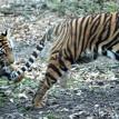 tiger play zoo