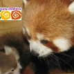 baby red panda cub fort wayne