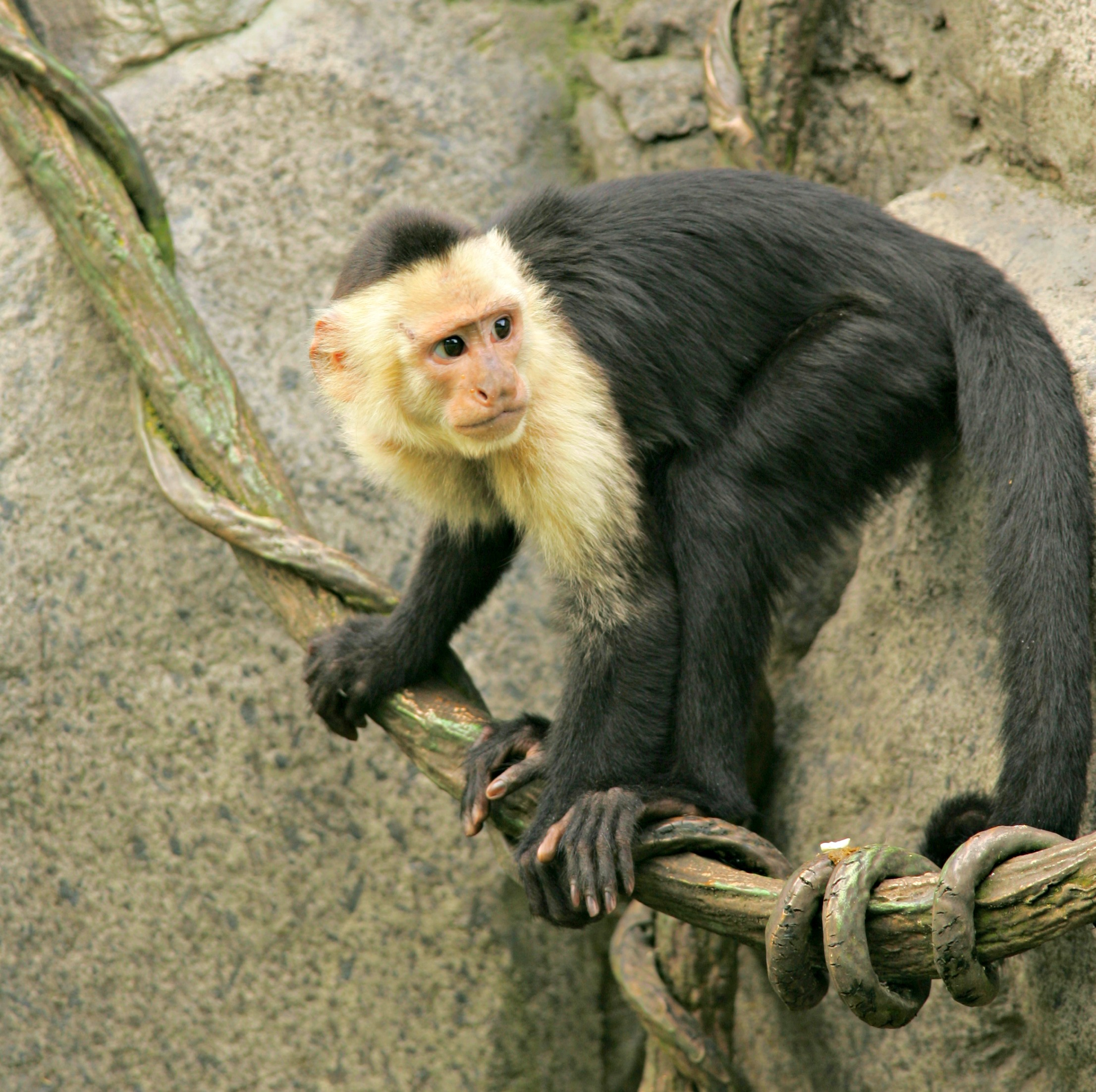 Capuchin Monkey Zoo Attraction