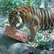 The tigers tore apart enrichment objects on their second birthday in 2013.